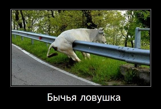 бычья ловушка