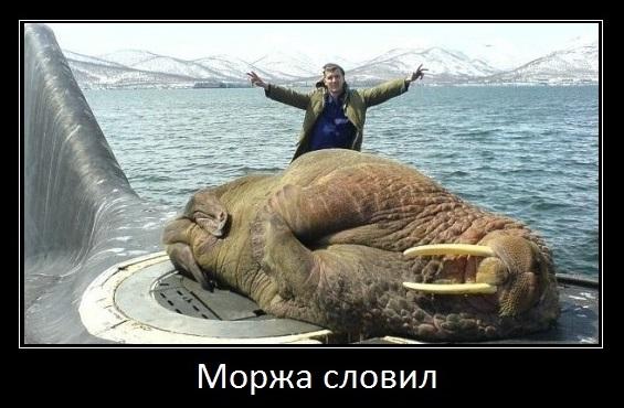 моржа словил