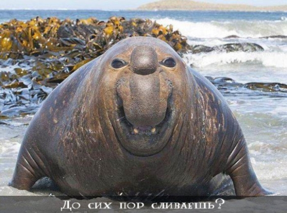 морж сливается